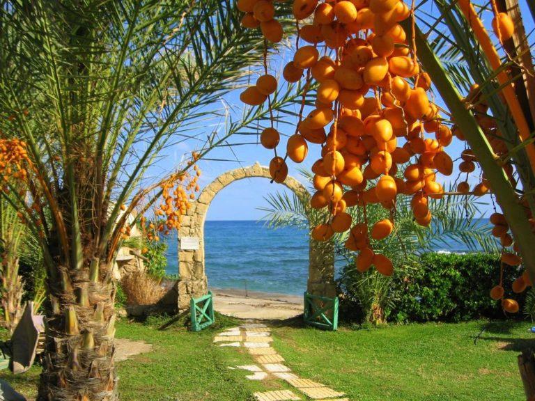 """Финиковая пальма с """"ягодами жизни"""""""